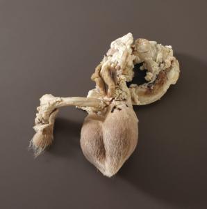 Ram Reproductive Organs