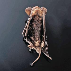 Preserved Bat