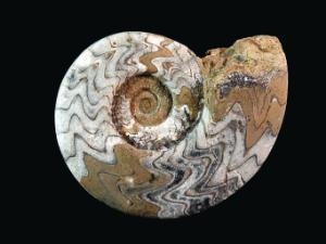 <i>Gonioclymenia species</i> (Devonian)