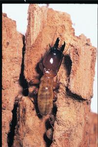 Ward's® Live Termite Flagellates (Trychonympha and Pyrsonympha)