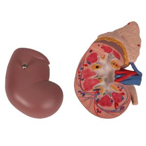 Kidney with Adrenal Gland