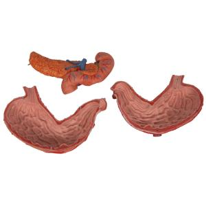 Stomach Part