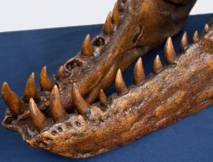 T-REX skull half scale replica