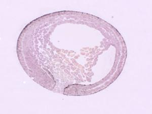 Ward's® Frog Embryology Slide Series