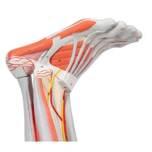 Muscle Leg