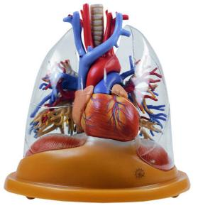 Somso® Heart/Lungs Model