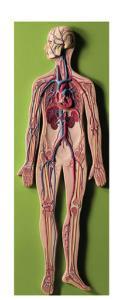 Somso® Circulatory System Model