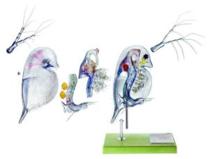 Somso® Daphnia Model