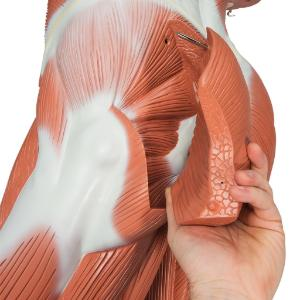 Life Size Male Muscular