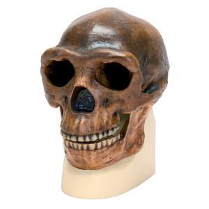 Replica Homo Erectus