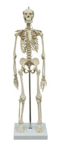 Rudiger® Small Scale Human Skeleton Models