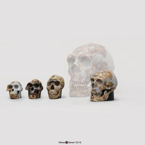 BoneClones® 1:2 Scale Hominid Skull Set