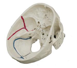 Rudiger® Advanced Painted Muscular Skull