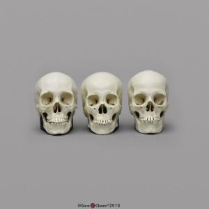 BoneClones® 1:2 Scale Regional Human Skull Sets