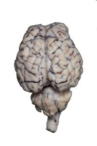 Form-free hypo sheep brain