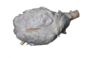 Form-free dura sheep brain