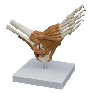 Rudiger® Ligamentary Joints Models