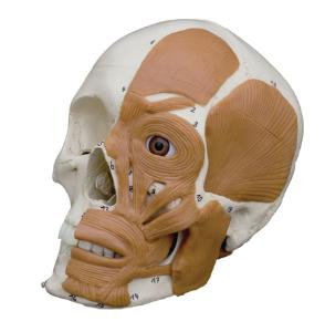 Rudiger® Introductory Skull with Facial Muscles