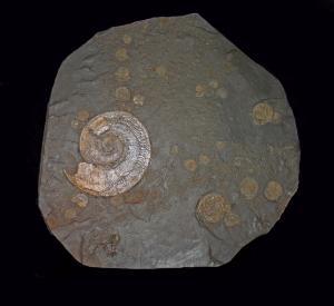 Harpoceras with Dactylioceras sp. (Jurassic)