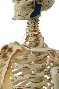 Rudiger® Flexible Ligamentary Skeleton
