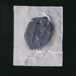 <i>Arctinurus boltoni</i> (Silurian)