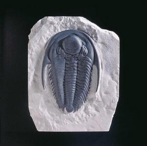 <i>Paradoxides harlani </i>(Cambrian)