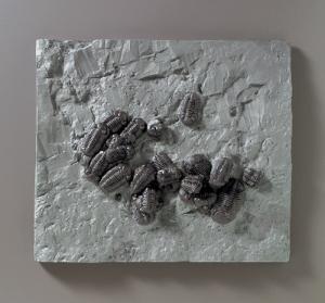 <i>Phacops rana milleri </i>(Devonian)