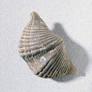 Mucrospirifer thedfordensis