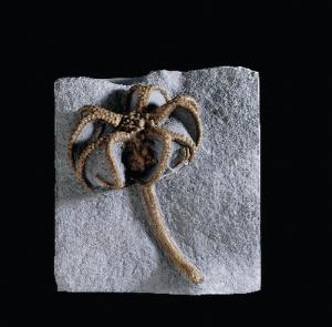 <i>Gilbertsocrinus dispansus</i> (Mississippian)