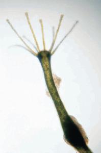 Ward's® Live Green Hydra (<i>Chlorohydra viridissima</i>)
