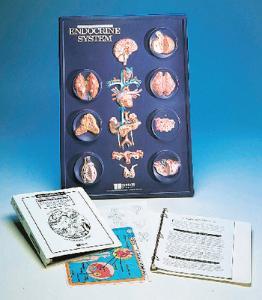 Human Anatomy Activity Models