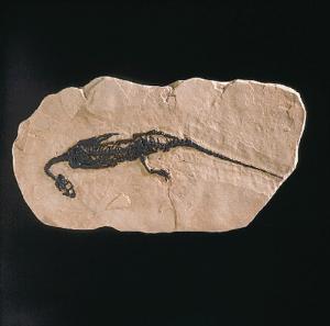<i>Pachypleurosaurus edwardsi </i>(Triassic)