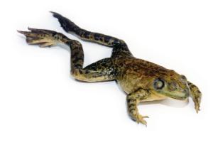 Ward's® Formaldehyde-Free Bullfrogs