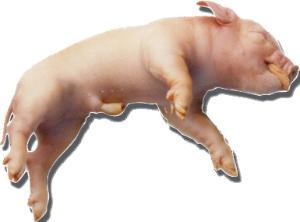 Formaldehyde-Free Preserved Fetal Pigs