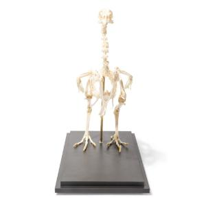 Chicken Skeleton Articulated