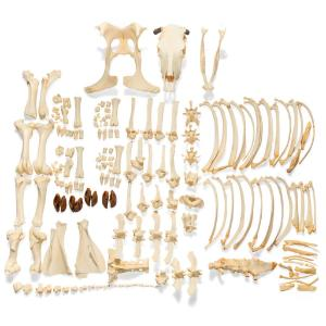 Cow Skeleton