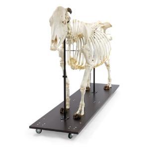 Cow Skeleton W Horns Articul on Base