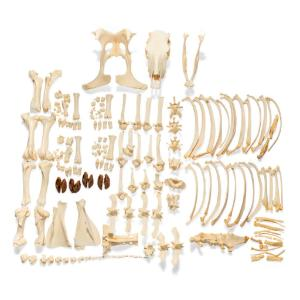 Cow Skeleton Wo Horns Disarticulated