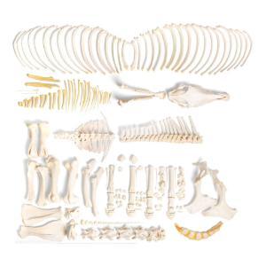 Horse Skeleton F Disarticulated