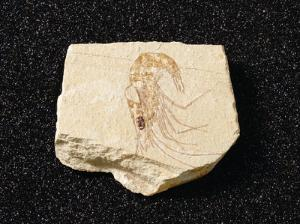 Carpopeneaus sp. (Cretaceous)