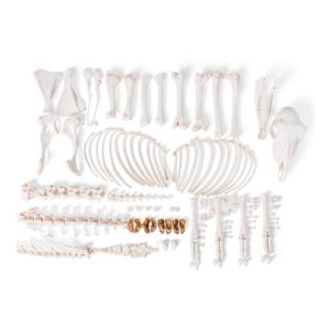 Sheep Skeleton F Disarticulated
