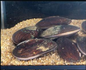 Ward's® Live Mussels