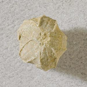 Pentremites sp. (Mississippian)