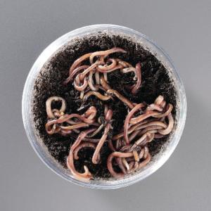 Ward's® Live Red Worm Culture (<i>Alloloborpha calliginosa</i>)