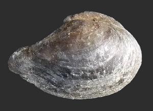 Dacryomya ovum (Jurassic)