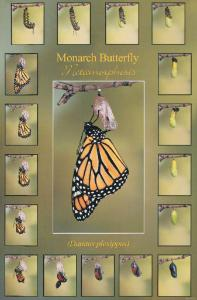 Monarch Metamorphosis Poster