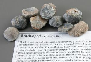 Brachiopod Fossil Study Pack