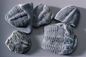 Trilobite Fossil Study Pack
