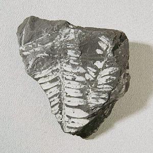 Fern Leaf Impressions Fossil Study Pack
