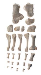 Model foot bones-sp